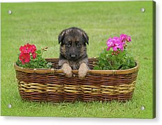 German Shepherd Puppy In Basket Acrylic Print by Sandy Keeton
