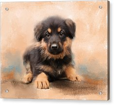 German Shepherd Puppy Portrait Acrylic Print by Jai Johnson