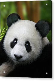Giant Panda Acrylic Print by Julie L Hoddinott