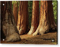 Giant Sequoias, Yosemite National Park Acrylic Print by Andrew C Mace
