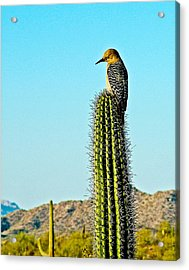 Gila Woodpecker On Saguaro In Organ Pipe Cactus National Monument-arizona Acrylic Print by Ruth Hager