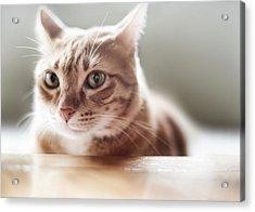 Ginger Tabby Cat Acrylic Print by Copyright © Vanessa Ho / www.hovanessa.com