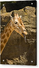 Giraffe Raspberry Acrylic Print by Mike  Dawson