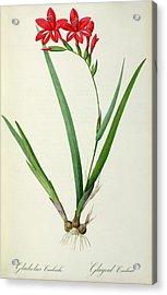 Gladiolus Cardinalis Acrylic Print by Pierre Joseph Redoute