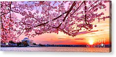 Glorious Sunset Over Cherry Tree At The Jefferson Memorial  Acrylic Print by Olivier Le Queinec