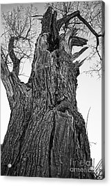 Gnarly Old Tree Acrylic Print by Edward Fielding