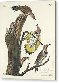 Gold-winged Woodpecker Acrylic Print by John James Audubon