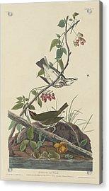 Golden-crowned Thrush Acrylic Print by John James Audubon