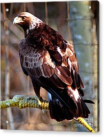 Golden Eagle Acrylic Print by Terry Elniski