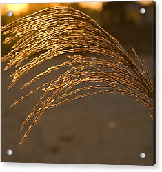 Golden Grass Acrylic Print by Douglas Barnett