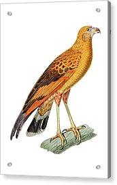 Golden Headed Preditor Acrylic Print by Douglas Barnett