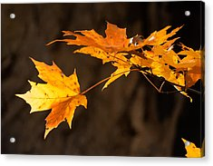 Golden Maple Arch Acrylic Print by Ross Powell