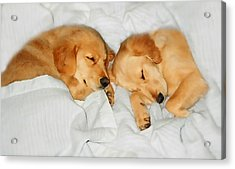 Golden Retriever Dog Puppies Sleeping Acrylic Print by Jennie Marie Schell