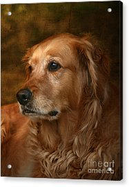 Golden Retriever Acrylic Print by Jan Piller