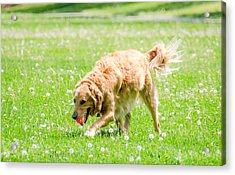 Golden Retriever Acrylic Print by Joshua Spiegler