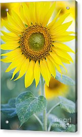 Golden Sunflower Acrylic Print by Tim Gainey