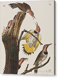 Golden-winged Woodpecker Acrylic Print by John James Audubon