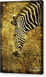 Golden Zebra  Acrylic Print by Saija  Lehtonen