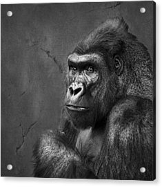 Gorilla Stare - Black And White Acrylic Print by Nikolyn McDonald