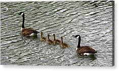 Got All Your Ducks In A Row Acrylic Print by David Dunham