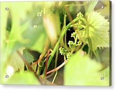 Grape Vine 1 Acrylic Print by Janie Johnson