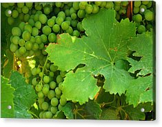 Grape Vine Heavy With Green Grapes Acrylic Print by Anne Keiser