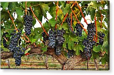 Grapes Of The Yakima Valley Acrylic Print by Lynn Hopwood