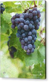 Grapes On The Vine Acrylic Print by Tim Gainey