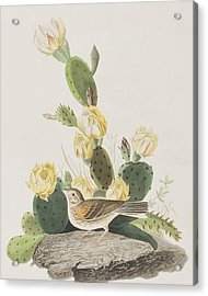 Grass Finch Or Bay Winged Bunting Acrylic Print by John James Audubon