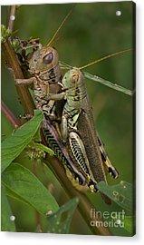 Grasshopper Sex Acrylic Print by Warren Sarle