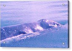 Gray Whale  Acrylic Print by Jeff Swan