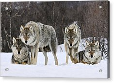 Gray Wolf Canis Lupus Group, Norway Acrylic Print by Jasper Doest