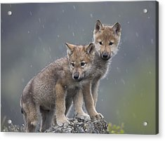 Gray Wolf Canis Lupus Pups In Light Acrylic Print by Tim Fitzharris