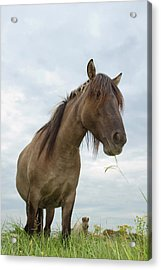 Grazing Konik Horse On A Cloudy Summer Day Acrylic Print by Roeselien Raimond