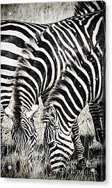Grazing Zebras Close Up Acrylic Print by Darcy Michaelchuk