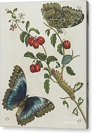 Great Blue Butterflies And Red Fruits Acrylic Print by Maria Sibylla Graff Merian