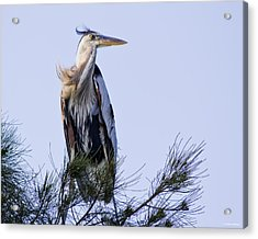 Great Blue Heron On A Windy Day Acrylic Print by Roger Wedegis