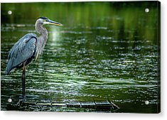 Great Blue Heron Acrylic Print by Optical Playground By MP Ray