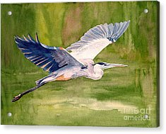 Great Blue Heron Acrylic Print by Pauline Ross