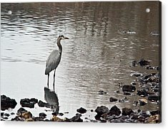 Great Blue Heron Wading 2 Acrylic Print by Douglas Barnett