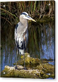 Great Blue Acrylic Print by Marty Koch