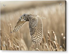 Great Horned Owl Acrylic Print by Peter Stahl