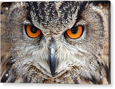 Great Horned Owl Acrylic Print by Pierre Leclerc Photography