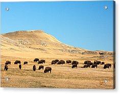 Great Plains Buffalo Acrylic Print by Todd Klassy