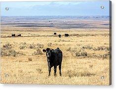Great Plains Steer Acrylic Print by Todd Klassy