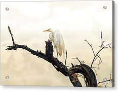 Great White Egret #1 Acrylic Print by Donnie Smith