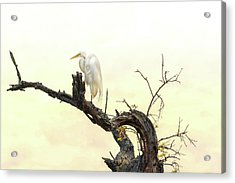 Great White Egret #2 Acrylic Print by Donnie Smith