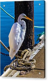 Great White Heron On Boat Dock Acrylic Print by Garry Gay