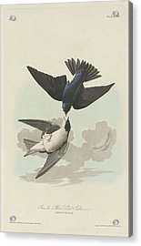 Green-blue Or White-bellied Swallow Acrylic Print by John James Audubon