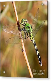 Green Dragonfly Closeup Acrylic Print by Carol Groenen